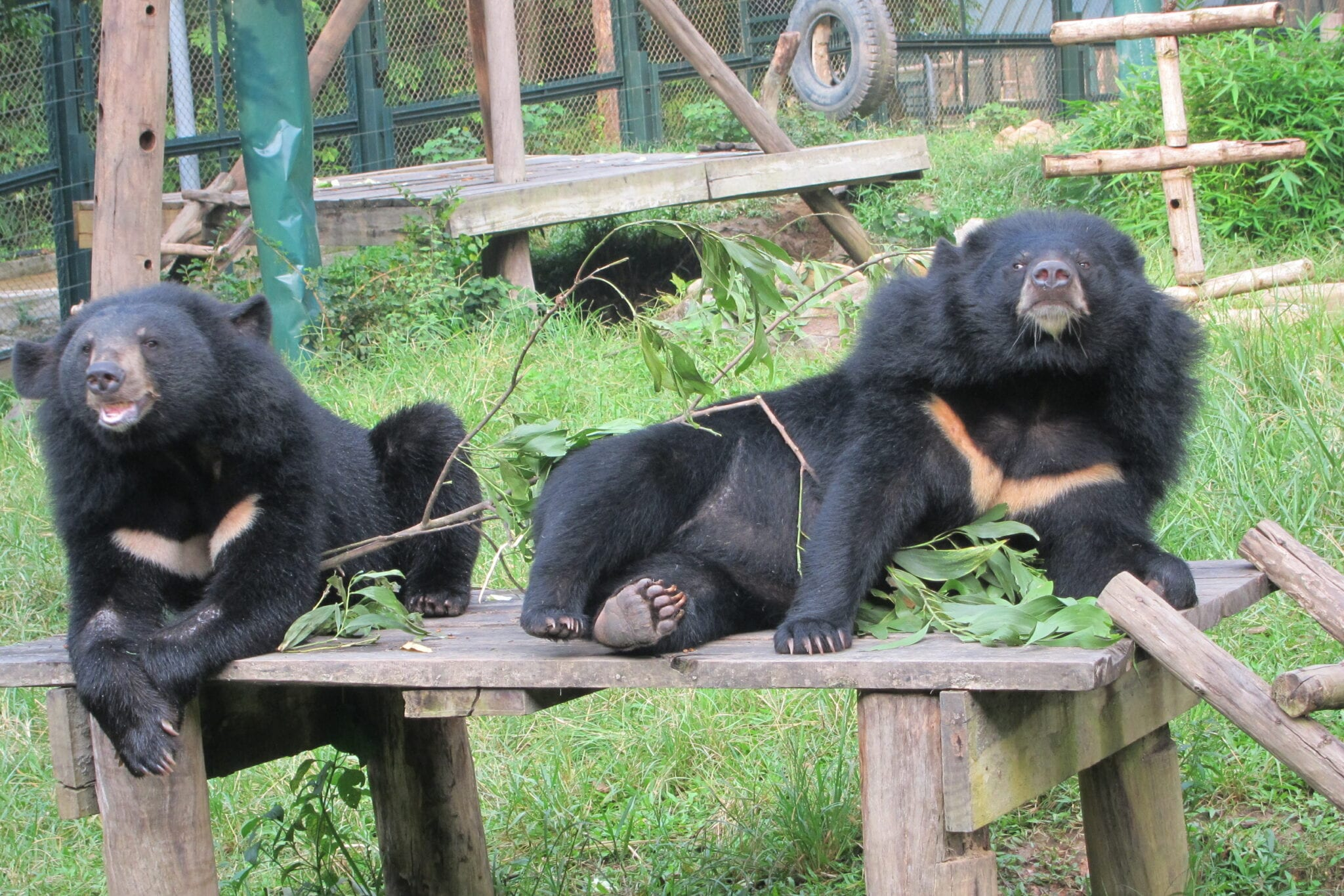 Bears in Tam Dao National Park Vietnam
