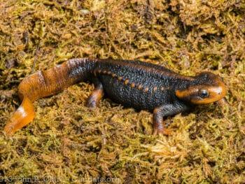 Image of a Himalayan Newt