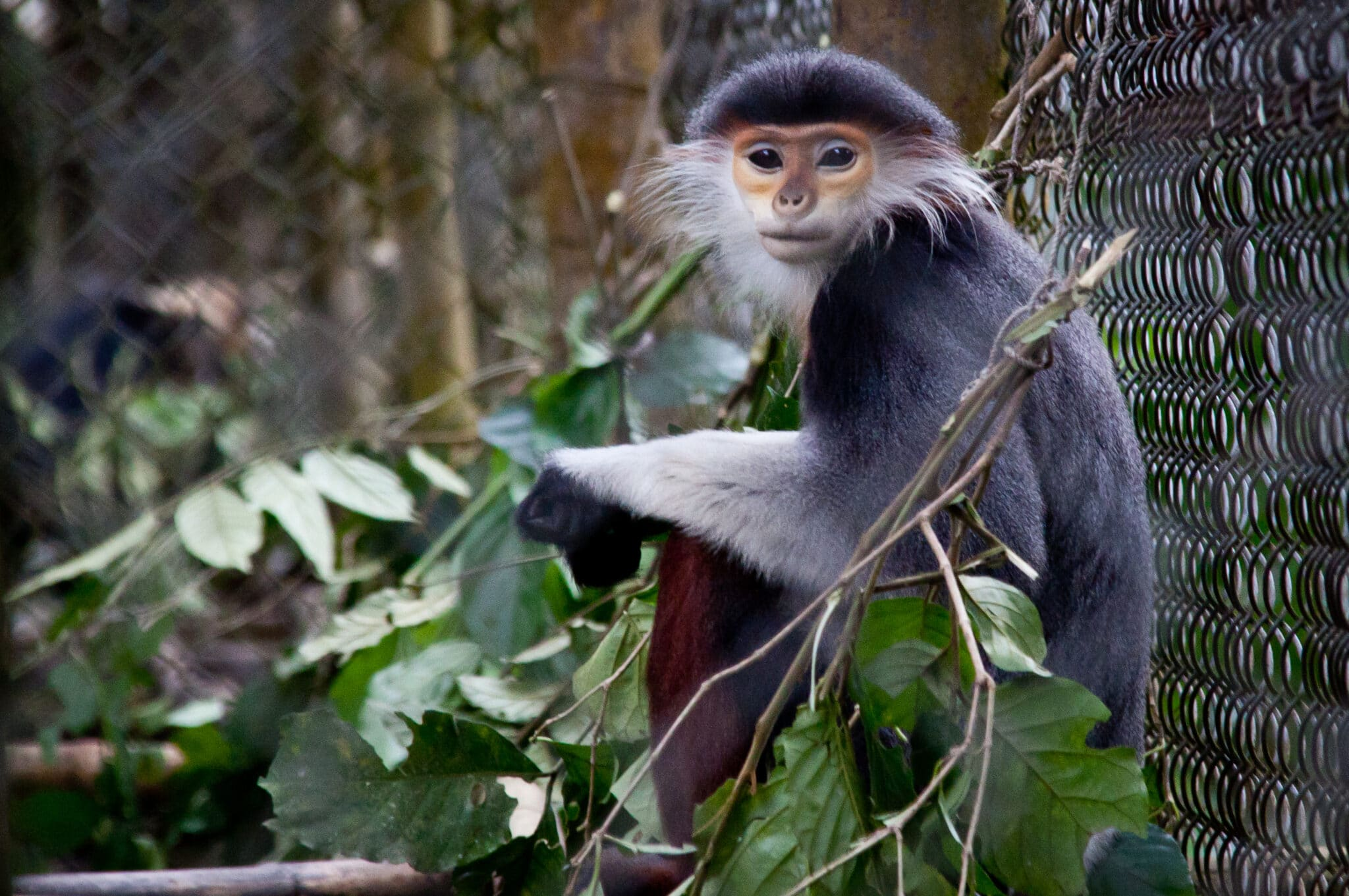 Grey-Shanked Douc Langur in Cuc Phuong National Park Vietnam