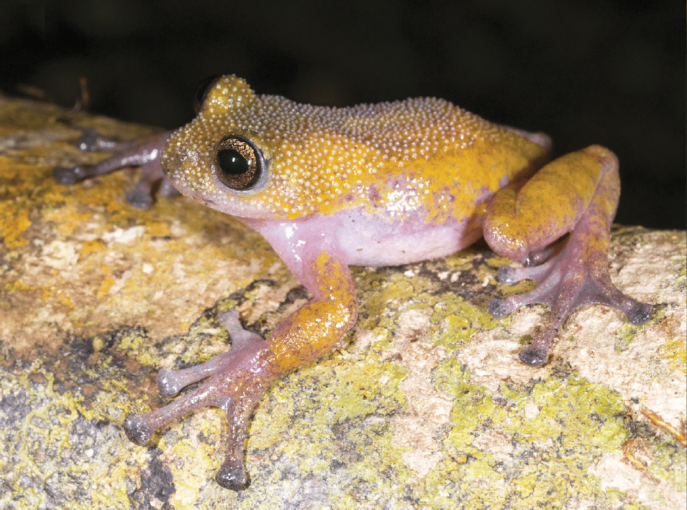 Image of a Thorny Tree Frog
