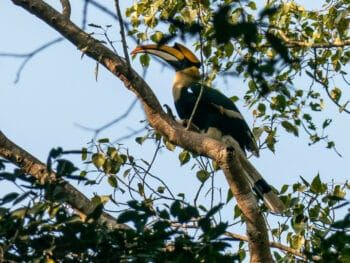 Image of a Great Hornbill in a tree