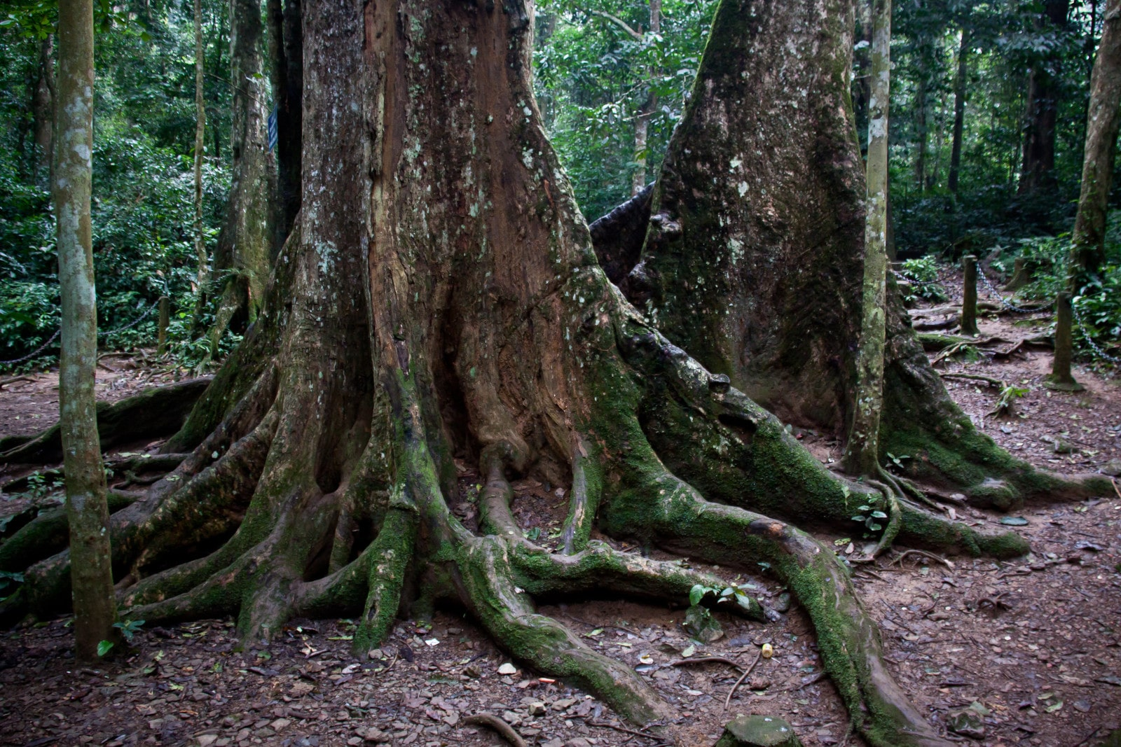 Image of the thousand year old tree in Cuc Phuong National Park in Vietnam