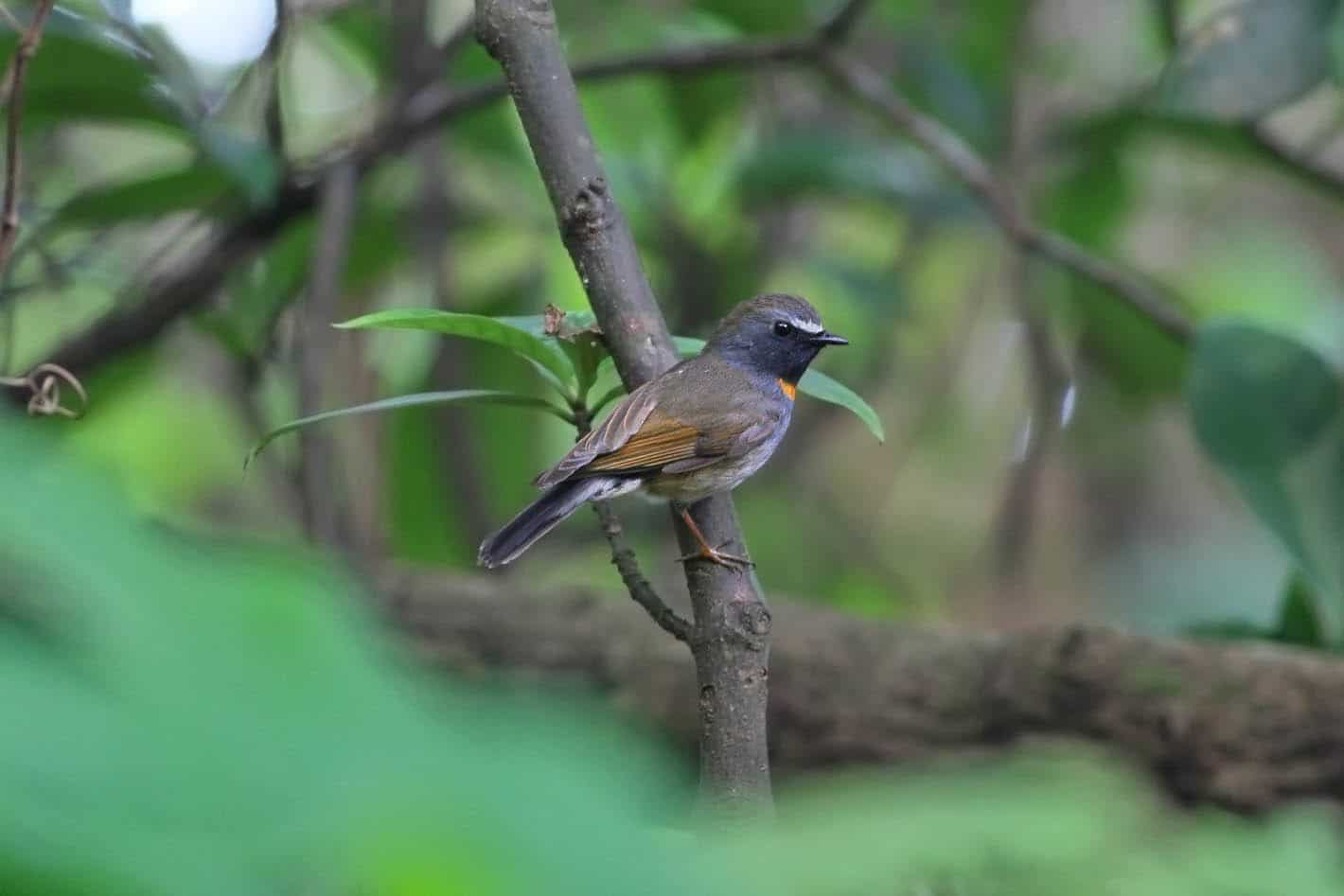 Image of a Rufous-gorgeted Flycatcher in Vietnam