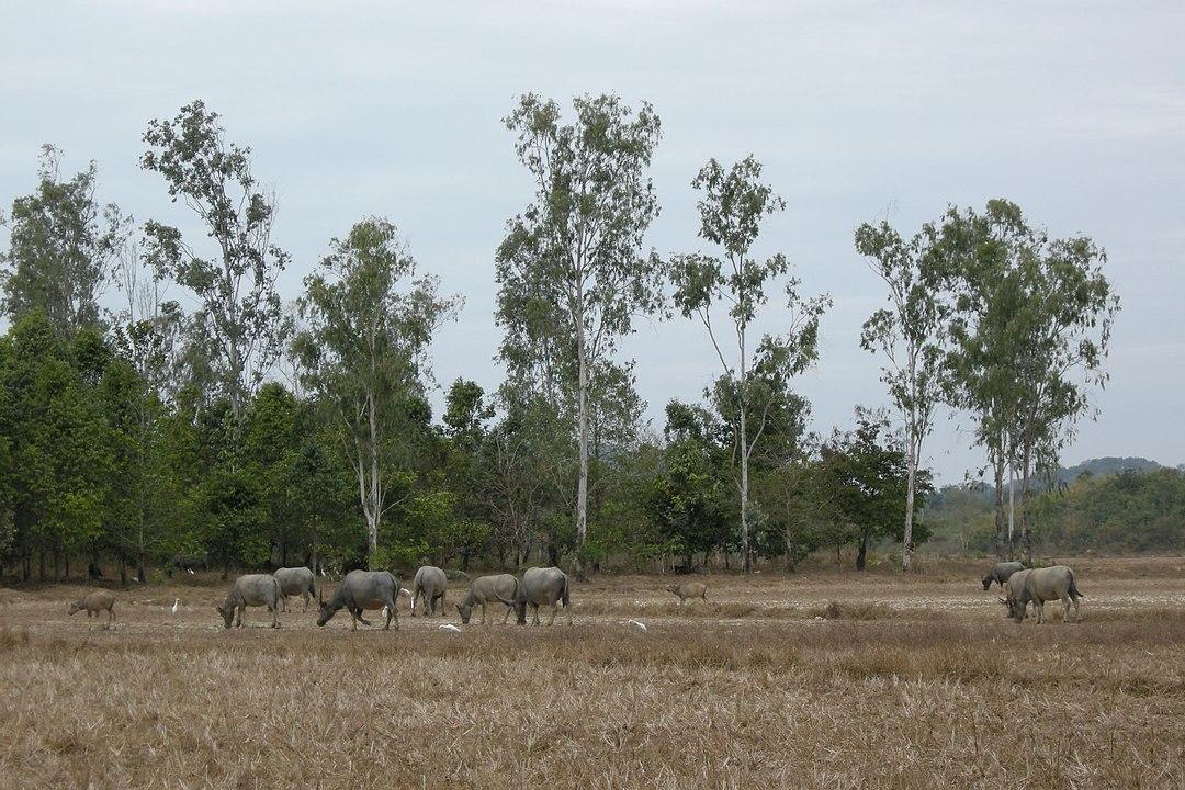 Asian Water Buffalos at Cat Tien National Park Vietnam