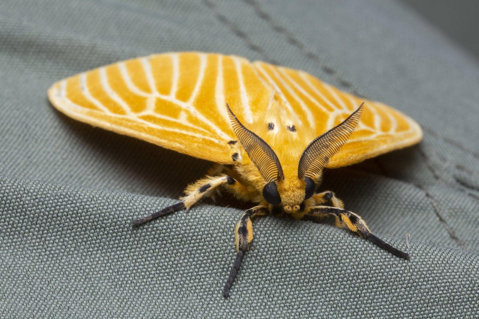 Image of a Asota egens (tiger moth)