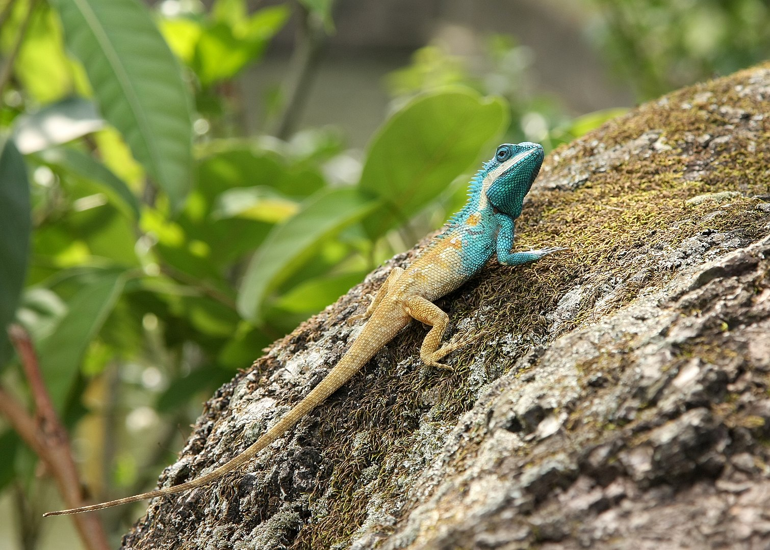 Image of a Blue Crested Lizard