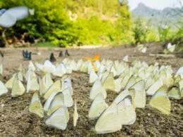 Image of butterflies in Ba Be National Park in Vietnam