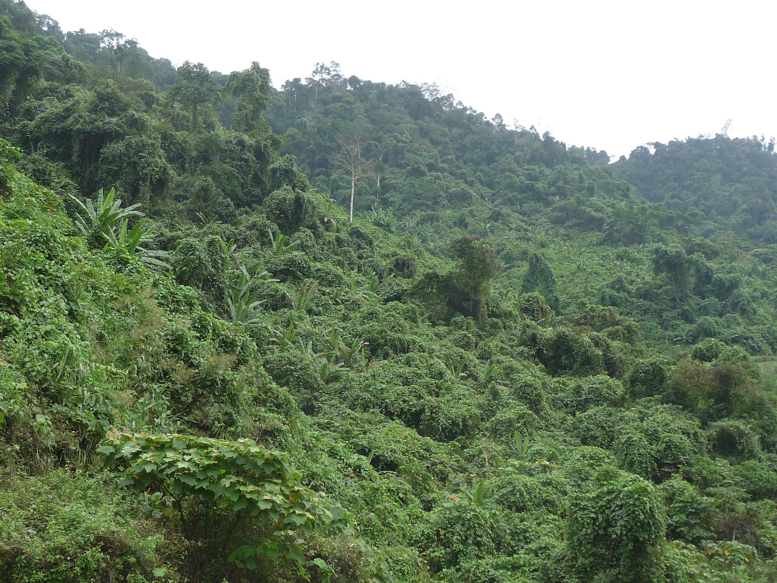 Image of jungle foliage in Vietnam's Central Highlands