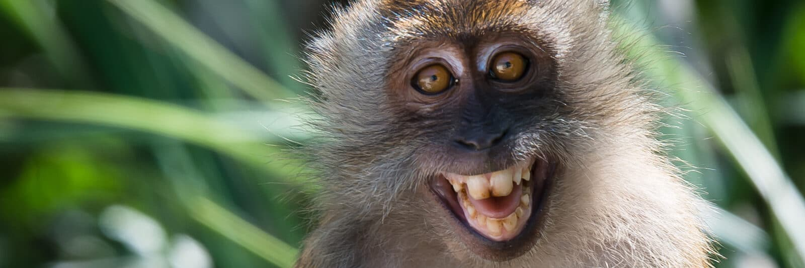 Image of the con dao long-tailed macaque