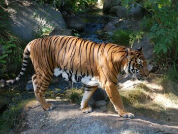 Image of the Indochinese Tiger