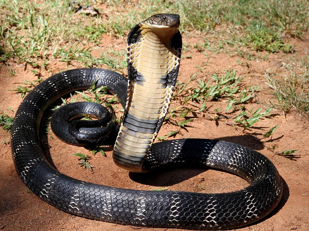 Image of a King Cobra
