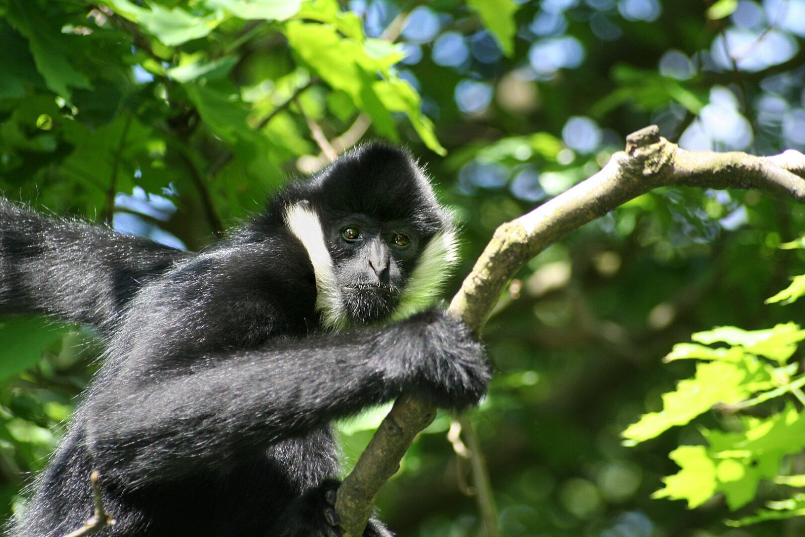 Image of a male yellow crested gibbon in trees