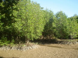 Image of the mangroves in Mui Ca Mao in Vietnam