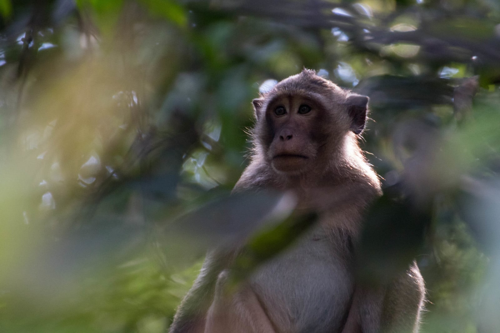 Image of a macaque on Phu Quoc