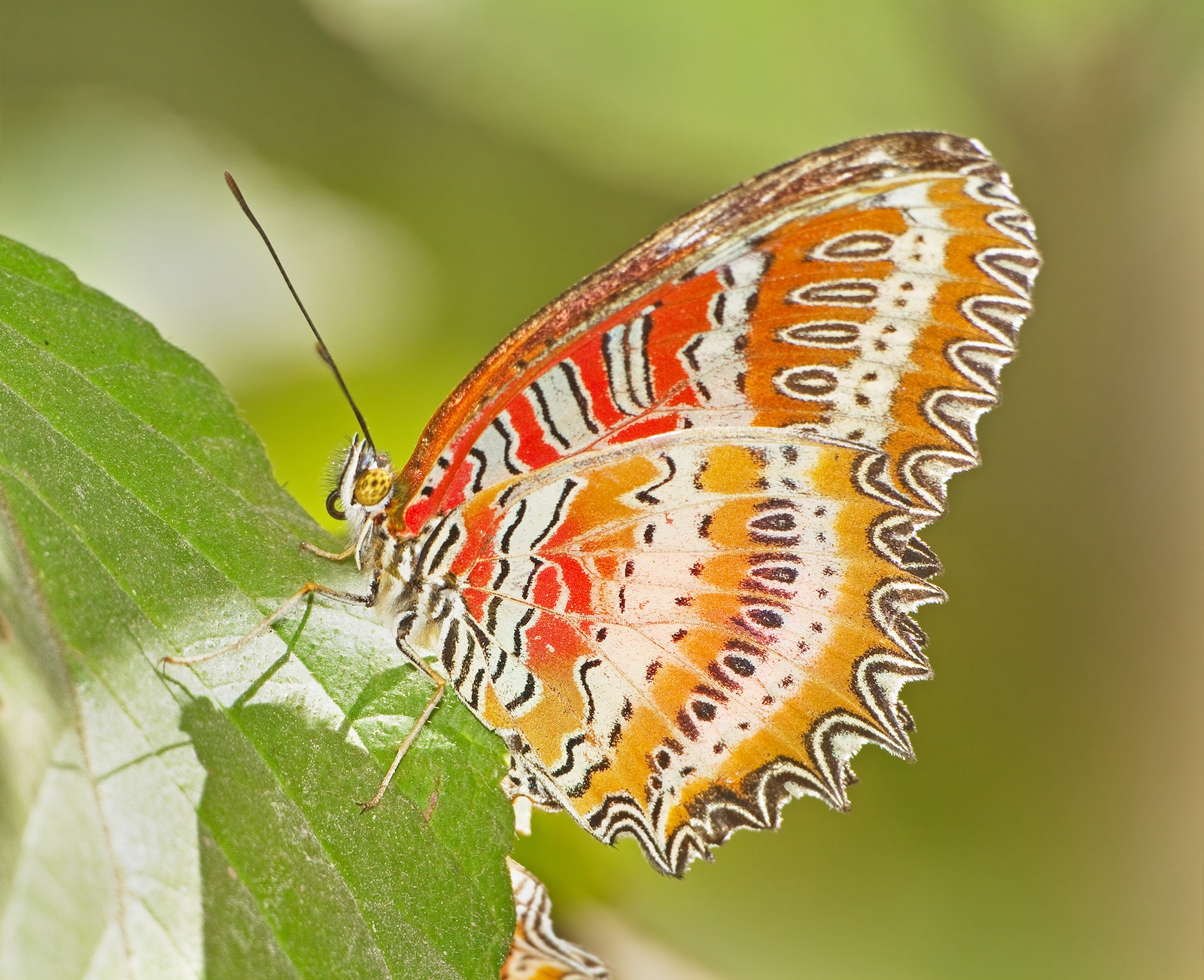 Image of a Red Lacewing Butterfly