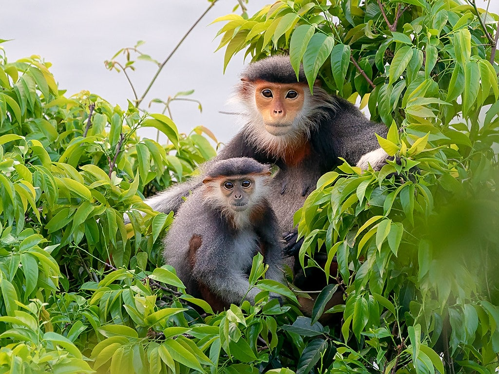 Image of a red-shanked douc langur in Hoi An