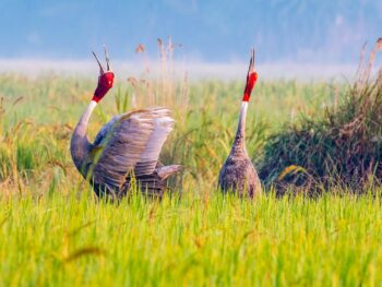 Image of a sarus crane duet in the marshlands