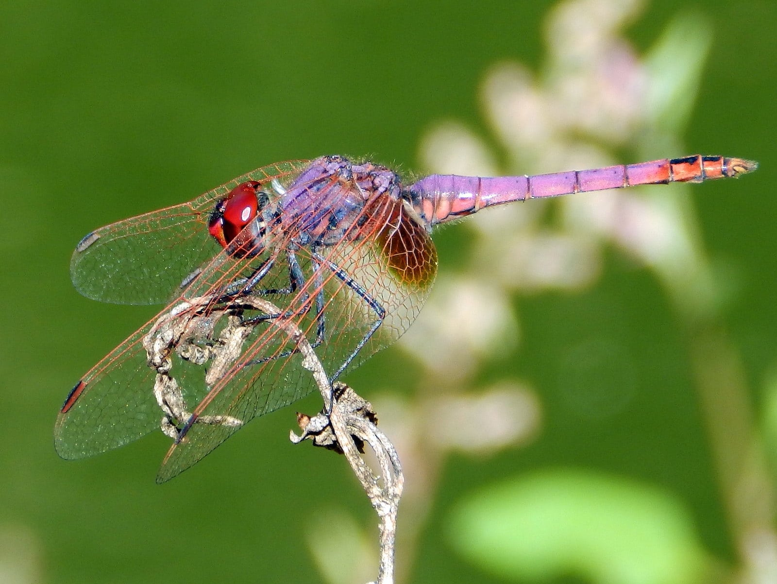 Image of a Violet Dropwing Dragonfly