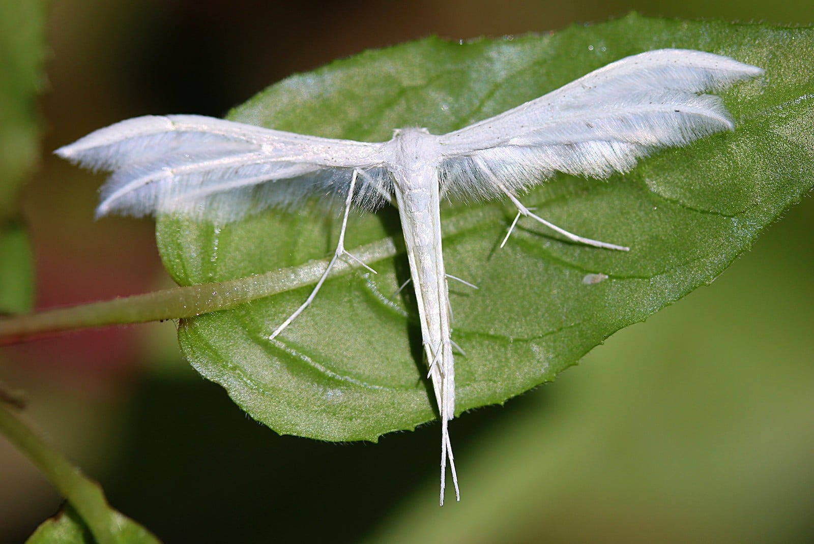Image of a white Plume Moth