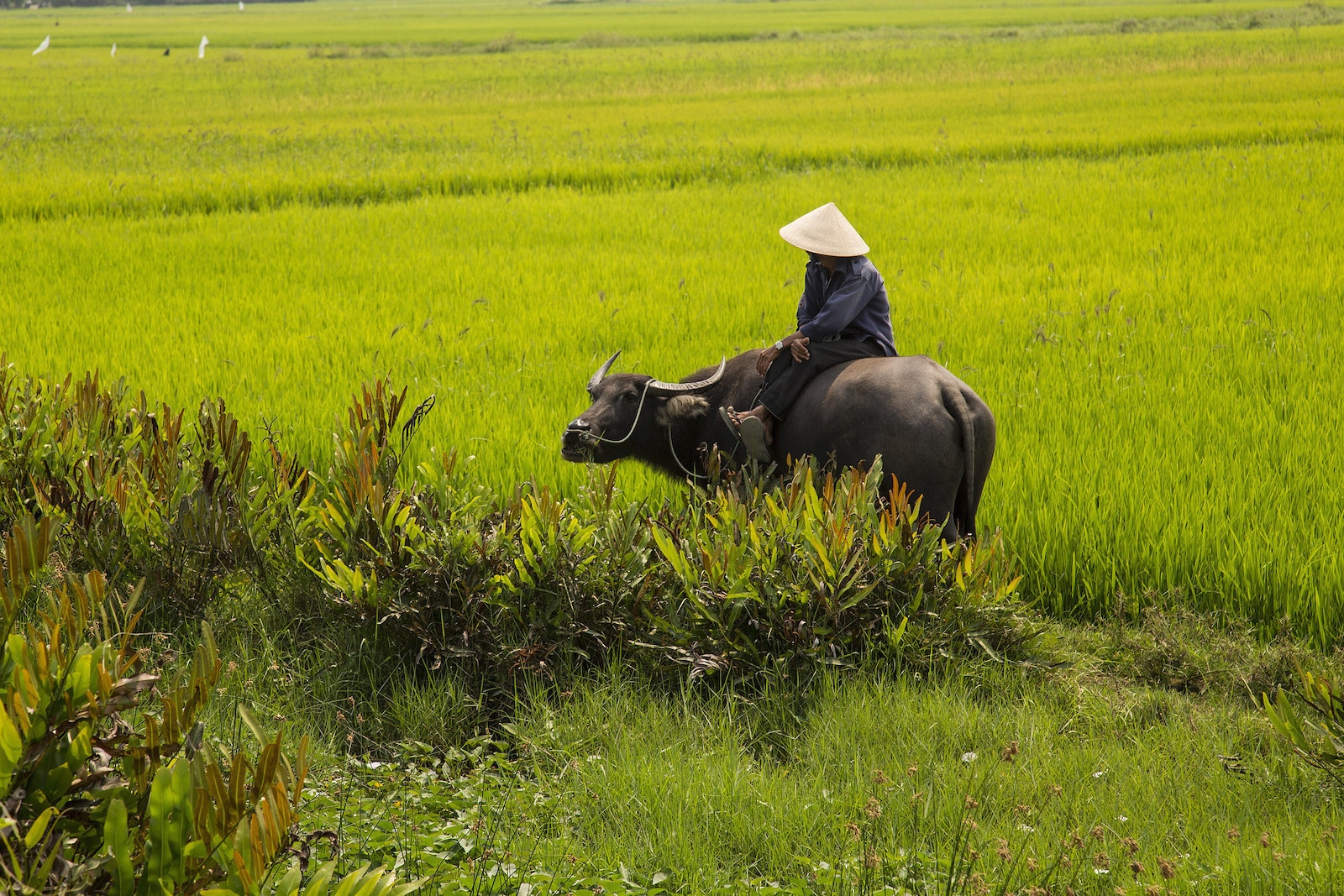 Water Buffalo and Farmer, Hoian