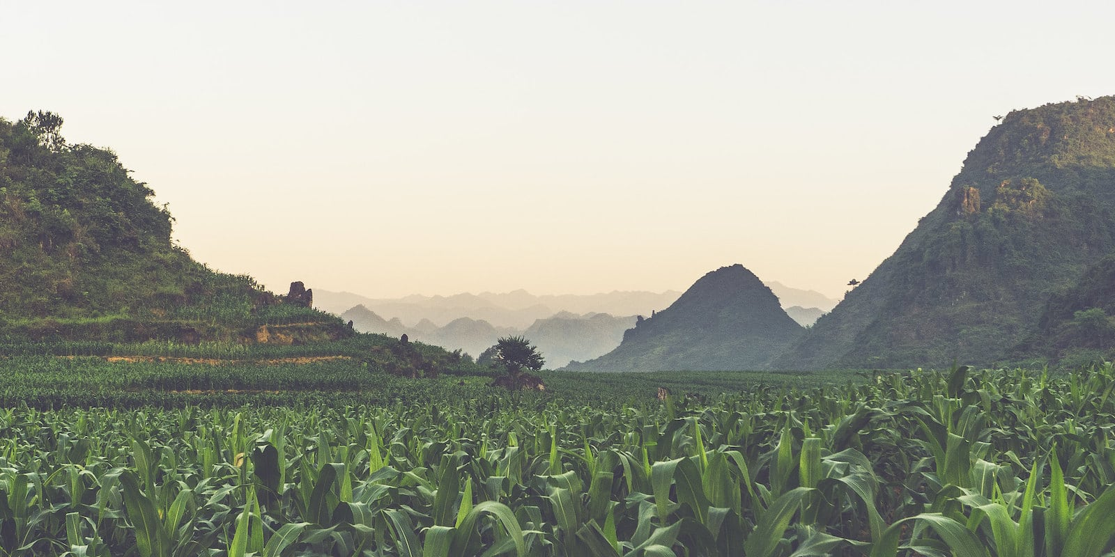 Image of a cornfield in Tam Son, Ha Giang, Vietnam