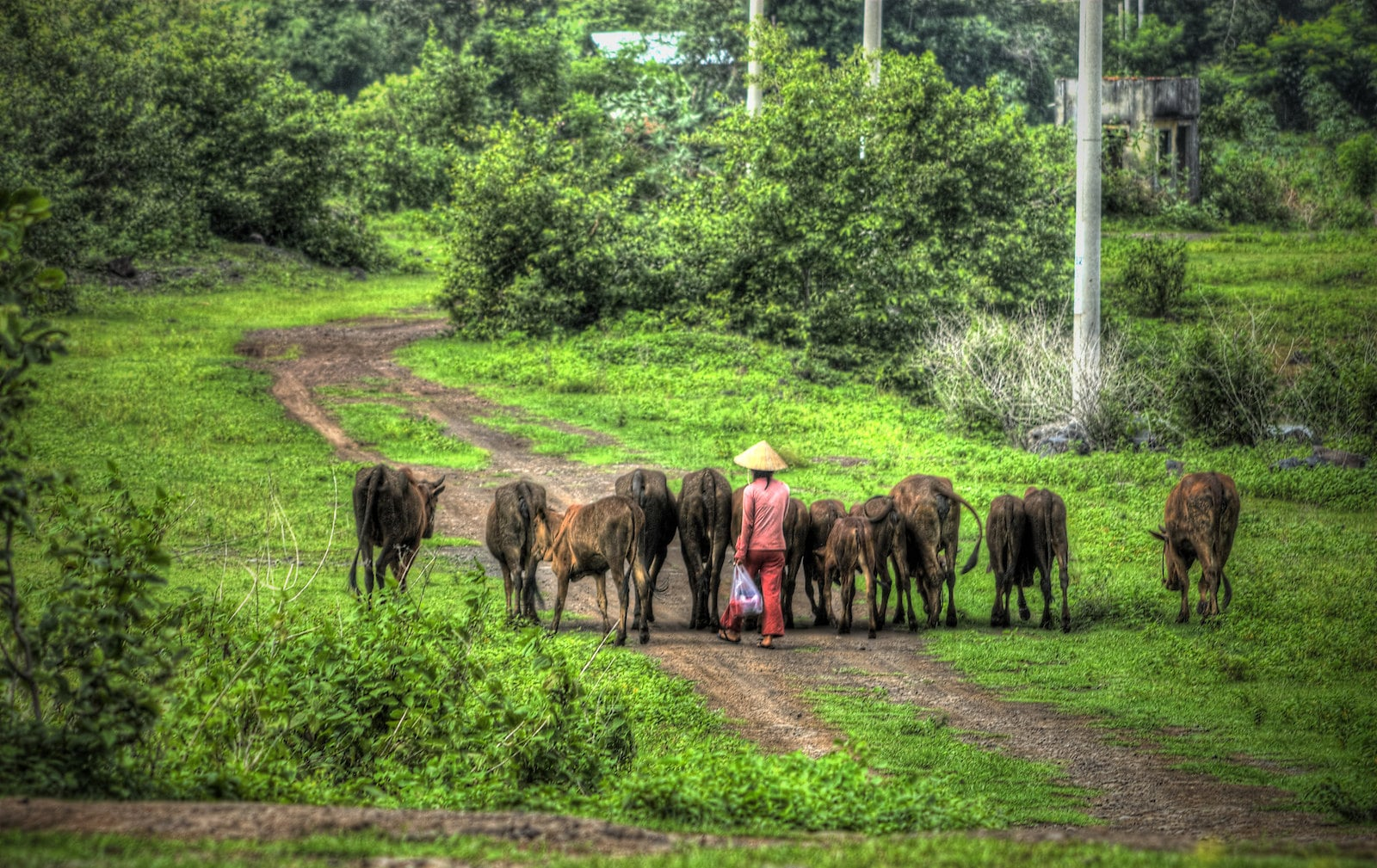 Image of a person leading cattle on a path in Ba Ria, Vietnam